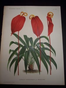 Anthurium: Hawaiian Flower Prints from 1869-1896.