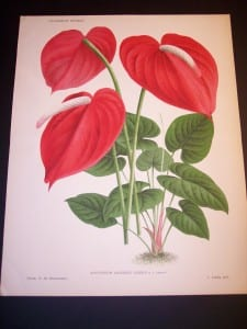 Anthurium: Hawaiian Flower Prints from 1869-1896. These are lovely hand finished color lithographs produced in Belgium.