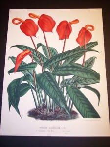 Anthurium: Hawaiian Flower Prints from 1869-1896.