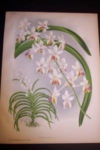 Lindenia Orchid Print 431