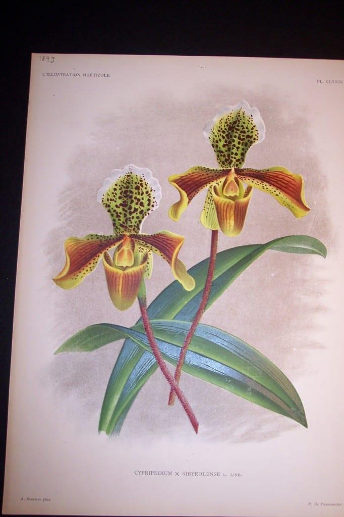 Illustration Lady Slipper Orchid 432