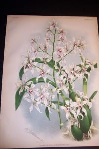 Lindenia Orchid Print 433