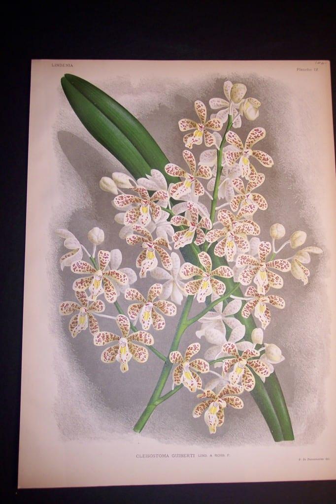 Lindenia Orchid Print 434