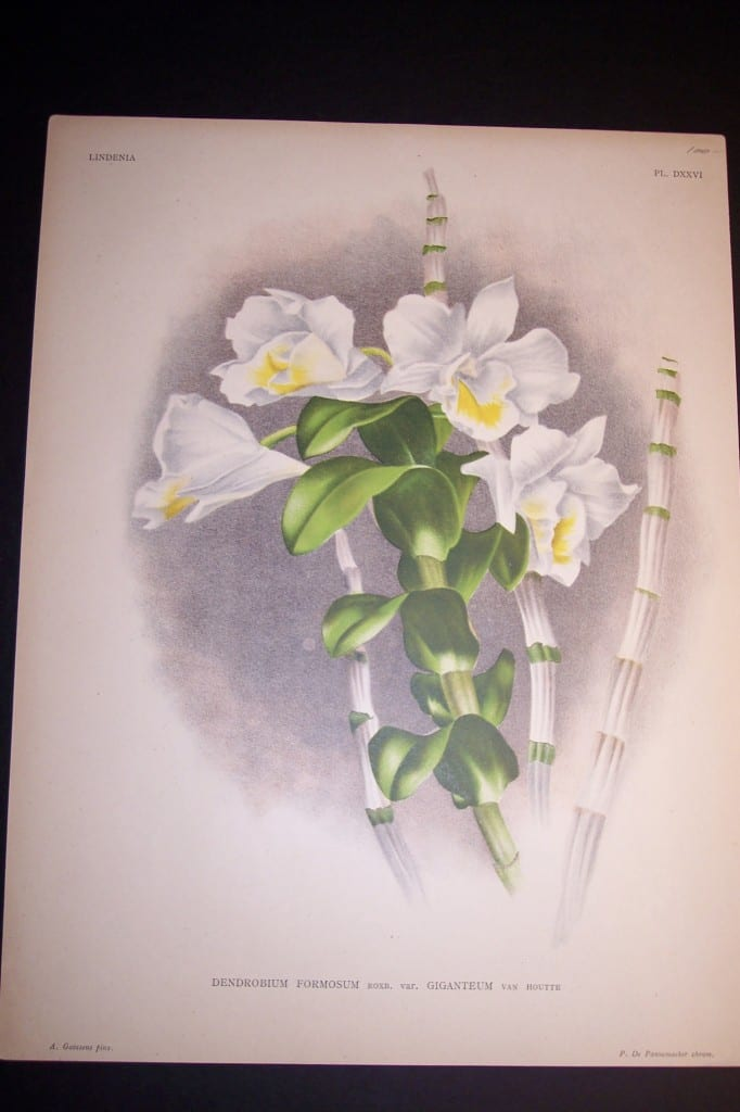 Lindenia Orchid Print 435