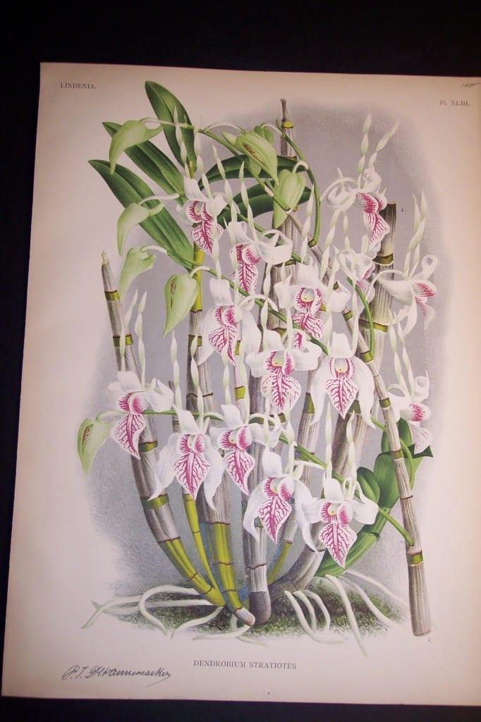Lindenia Orchid Print