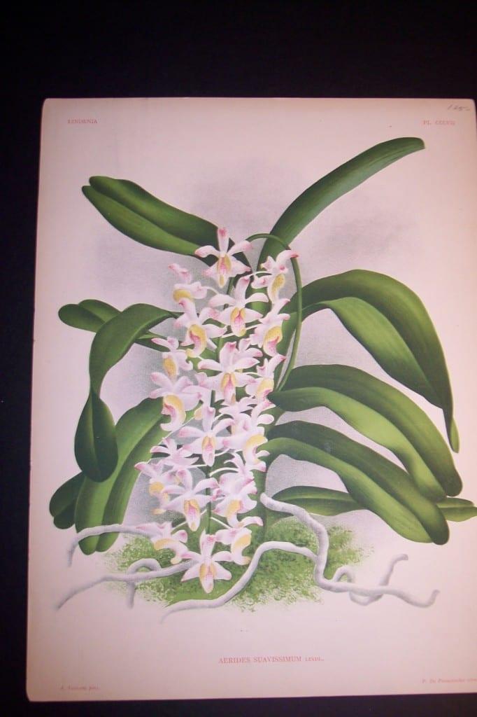 Lindenia Orchid Print 437