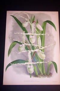 Lindenia Orchid Print 438