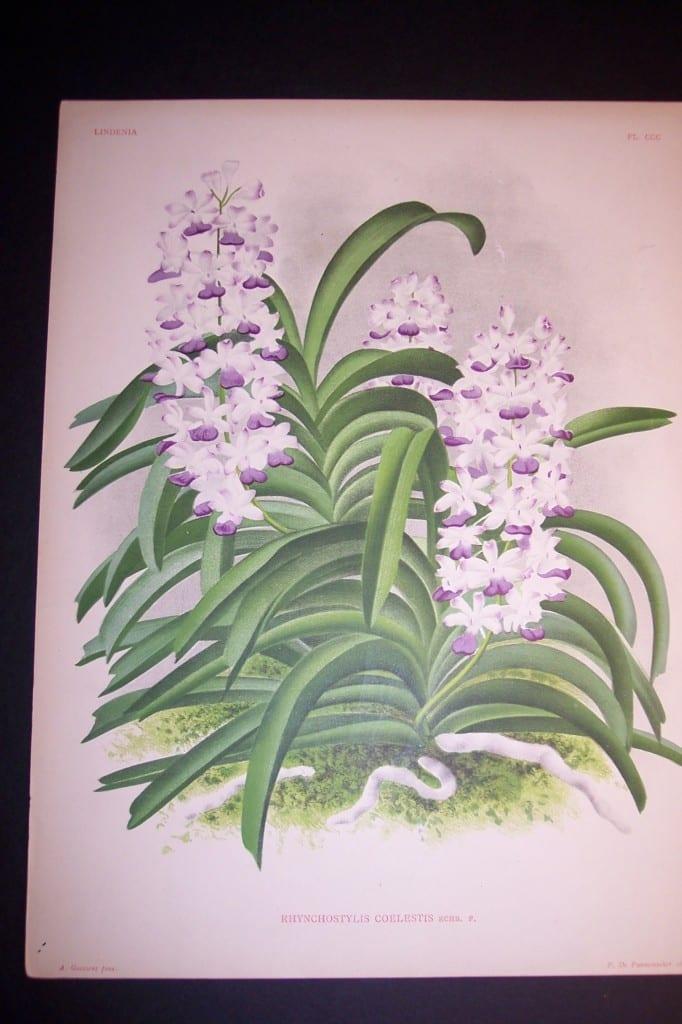 Lindenia Orchid Print 439