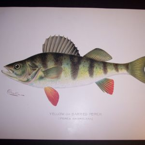 Denton Fish Print 7571 Perch