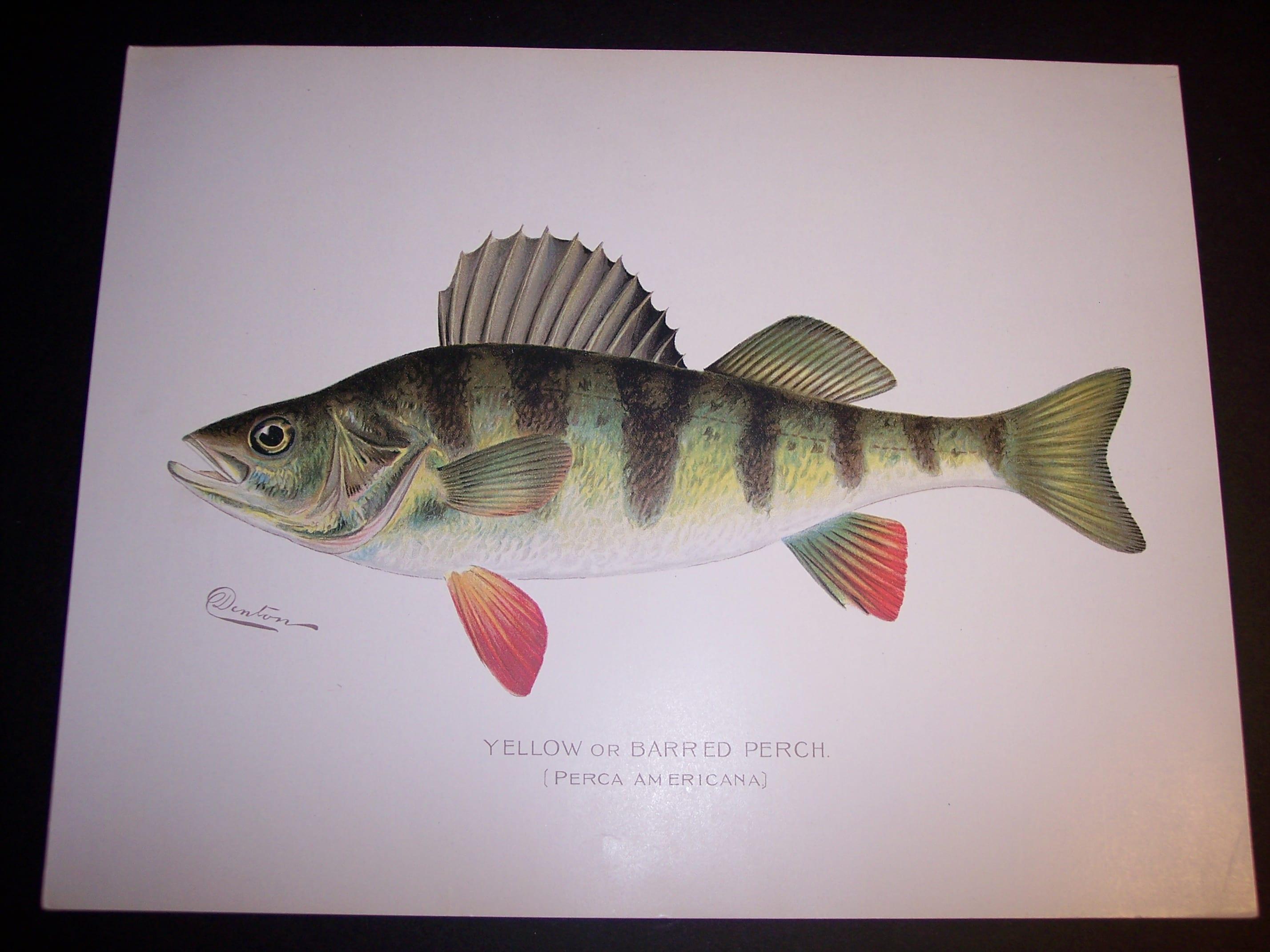 Denton Fish Print 7571 Perch