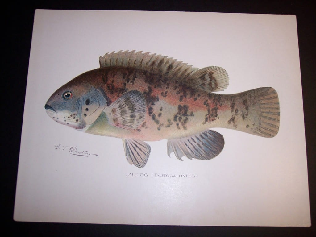 Denton Fish Print 7572 Tautog or Black Fish