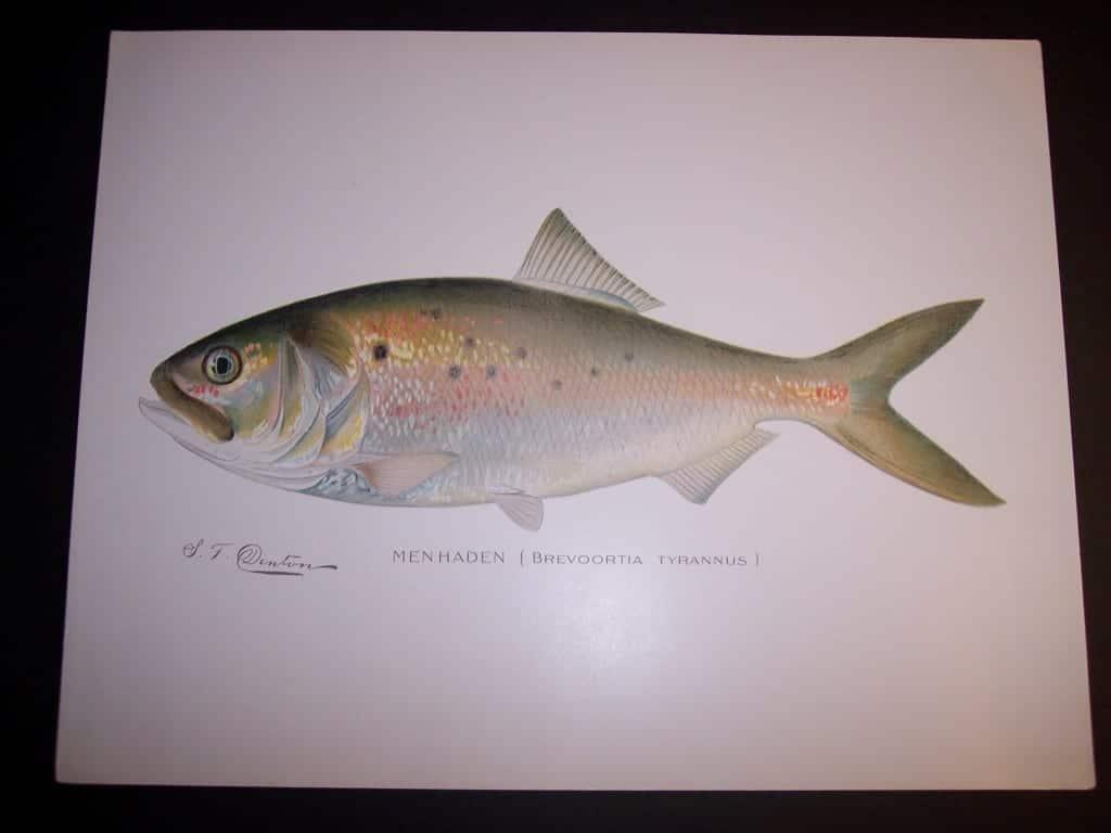 Denton Fish Print 7573 Menhaden $65.
