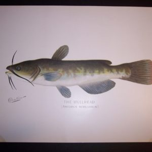 Denton Fish Print Bullhead catfish 7574