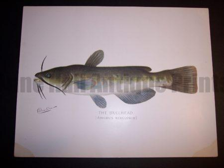Denton Fish Print Bullhead catfish 7574