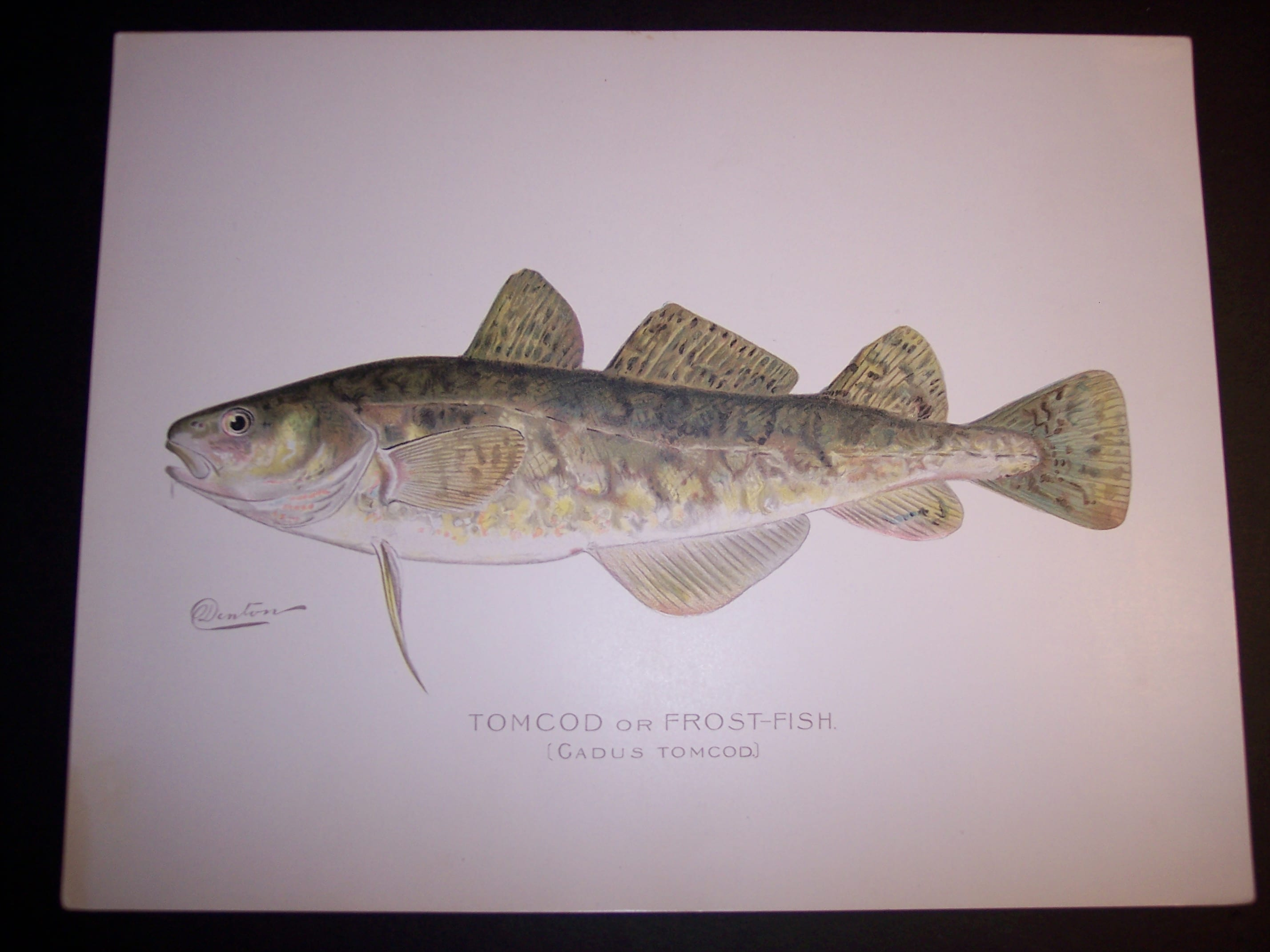 Denton Fish Print Cod 7575