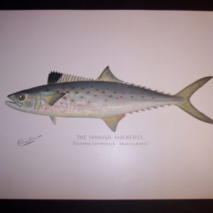 Denton Fish Print Mackeral 7576