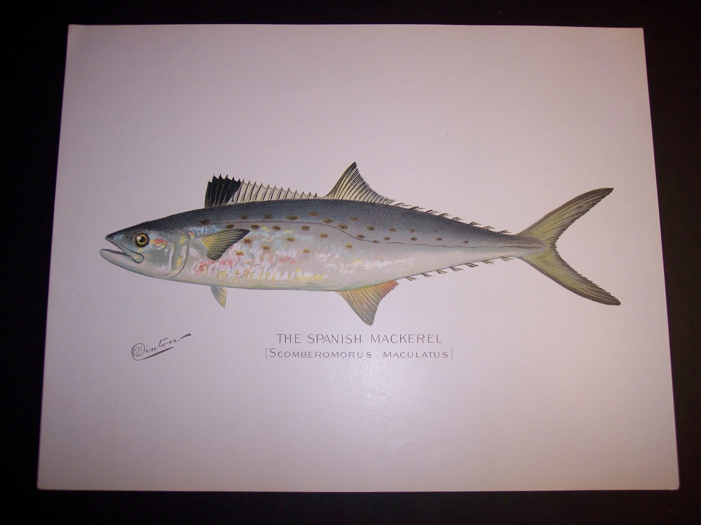 Denton Fish Print Mackeral 7576