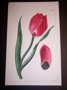 Fancy Flower Hand Colored Tulip
