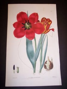 Robert Sweet Tulip. English water colored copper plate engraving