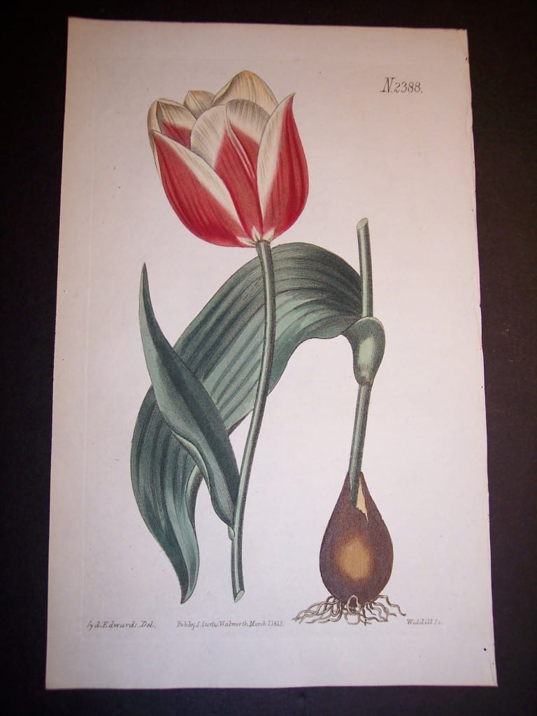 Fancy Flower Hand Colored Tulip 7668