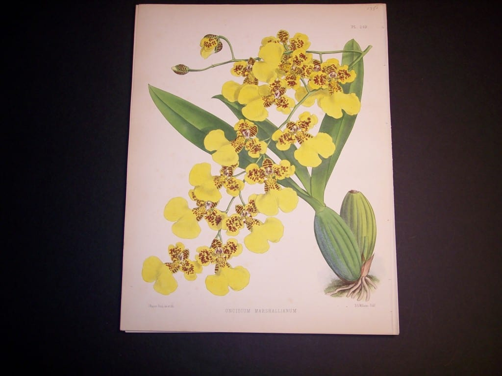 Oncidium Marshallianum $85