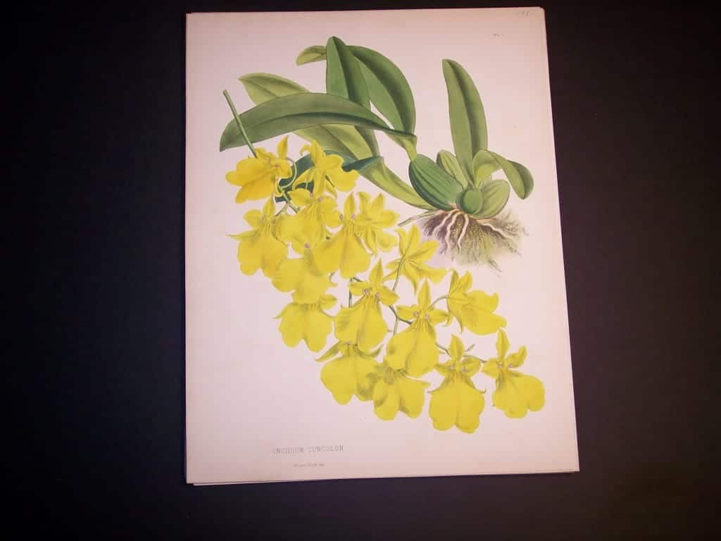 Oncidium Concolor $85