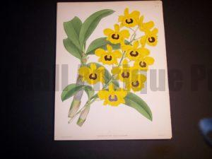 Dendrobium Suavissimum $85