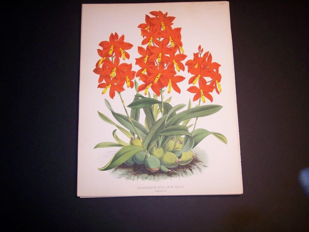 Epidendrum Vitellinum Majus $85