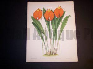 Masdevallia Harryana Armeniaca $85