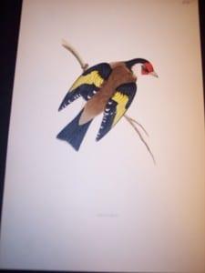 Morris Bird Antique Print from 1890