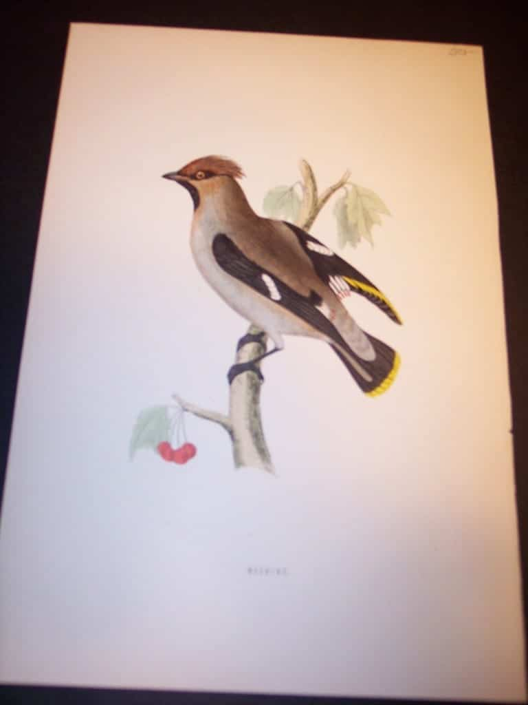 Morris Bird Antique Bird Print from 1890