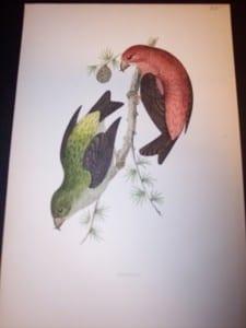 Morris Bird Antique Bird Print from 1890