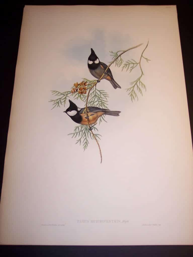 John Gould Bird Print from 1840-1880 #8152