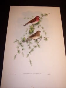 John Gould Bird Print 8159