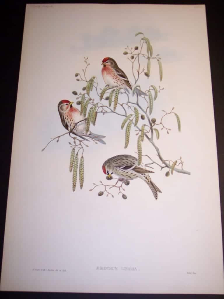 John Gould Bird Print 8162
