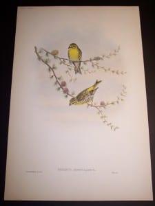 John Gould Bird Print 8163