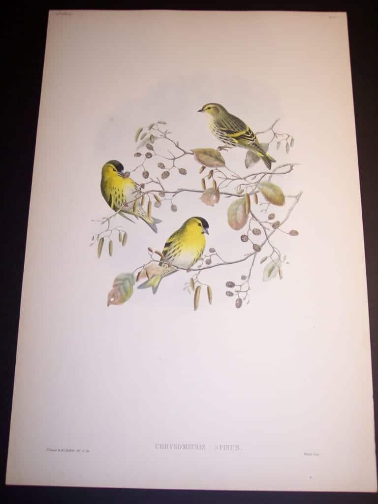 John Gould Bird Print 8166