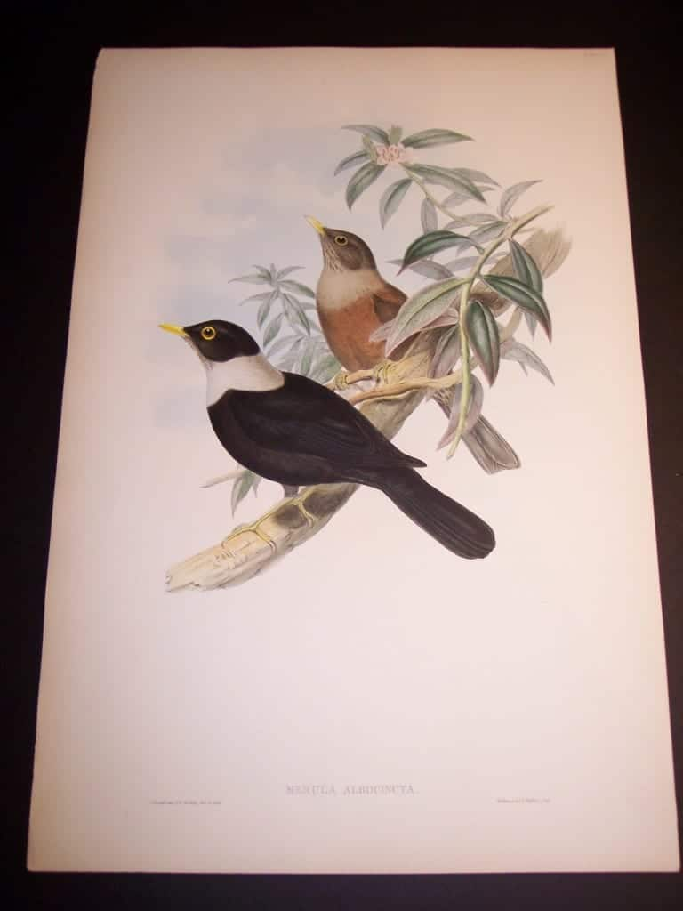 John Gould Hand Colored Lithograph of Birds 8168