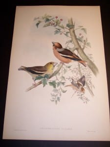John Gould Hand Colored Lithograph Hawfinches 8169