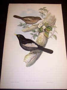 John Gould Antique Bird Lithograph 8170