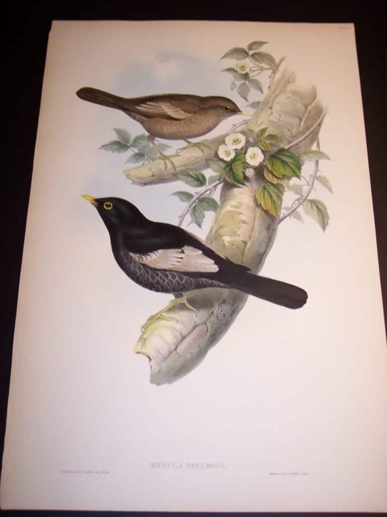 John Gould Antique Bird Lithograph 8170