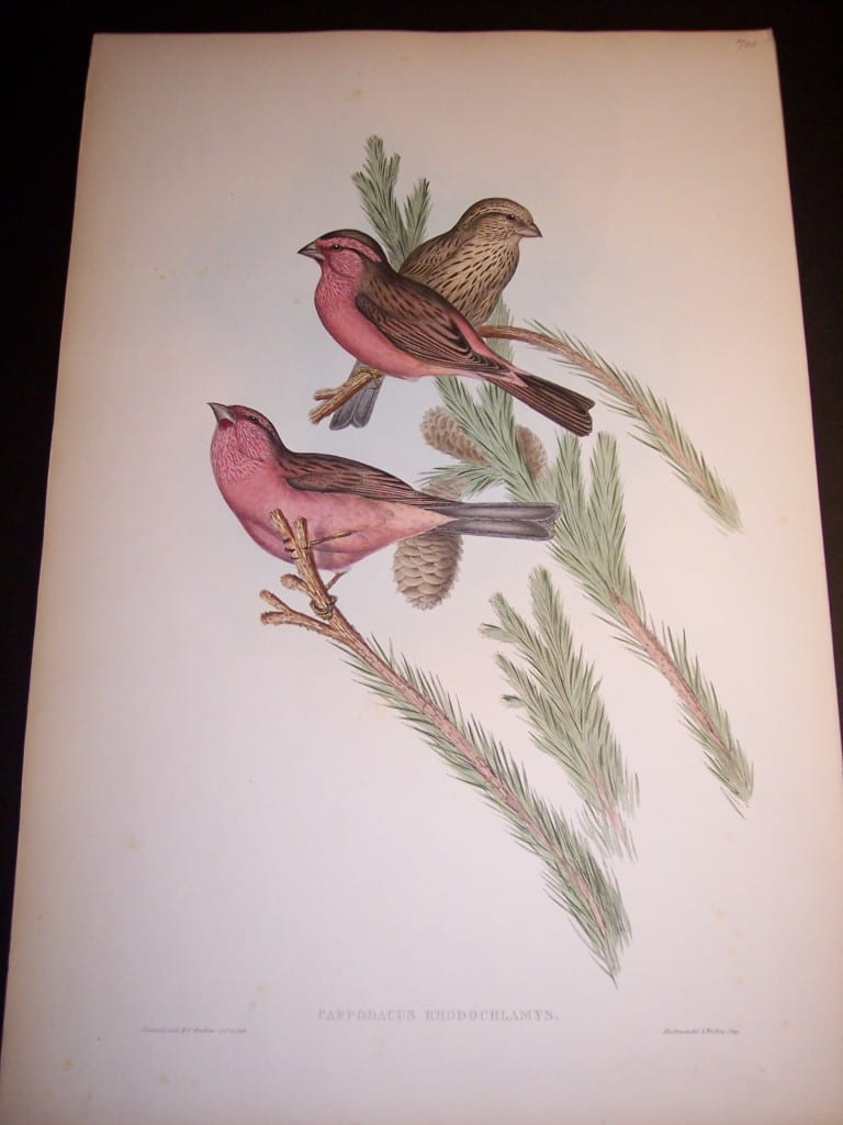 John Gould Antique Bird Lithograph 8173