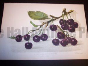 Profitable Farm Black Cherries