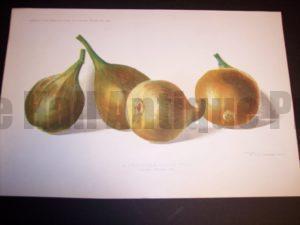 Profitable Farm Figs