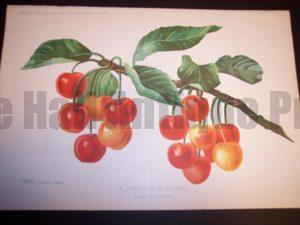 Profitable Fam Red Cherries