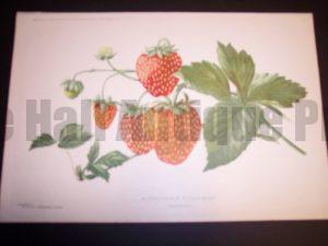 Profitable Strawberries to grow
