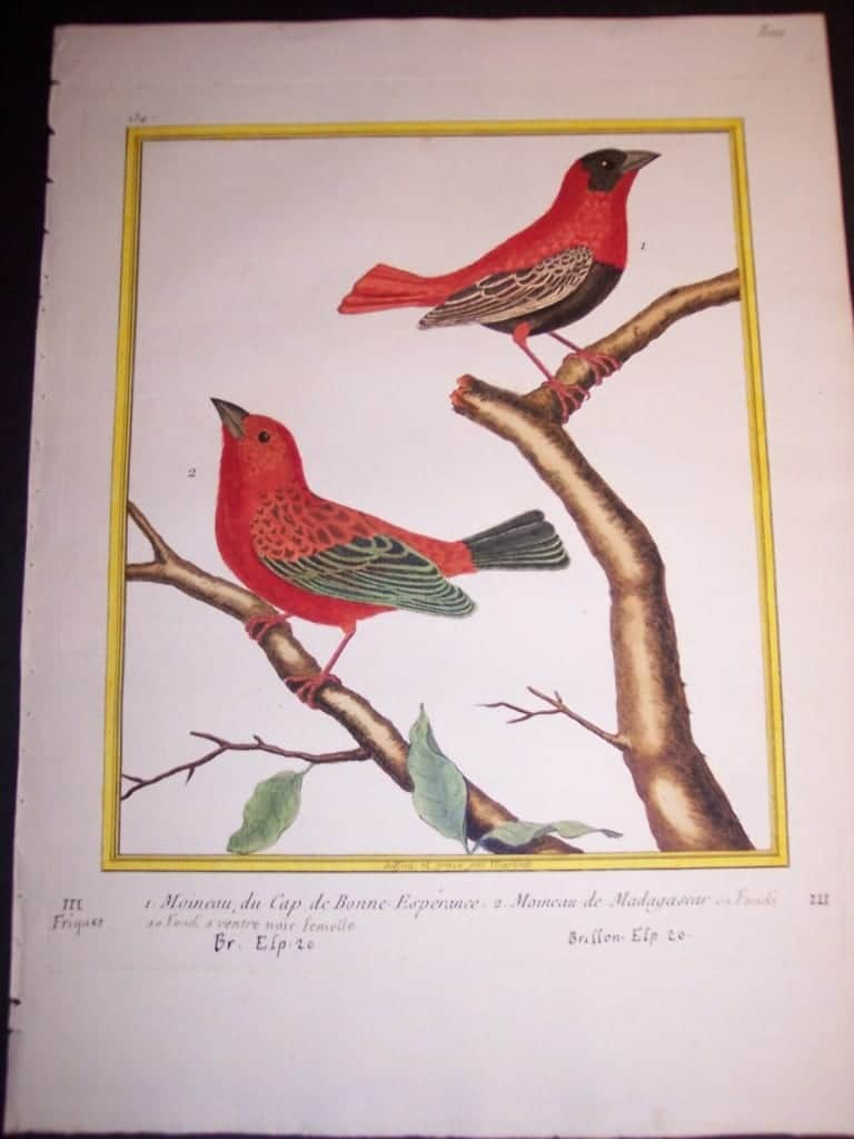 Martinet Song Bird Engraved Print from 1770-1783 250. 8404