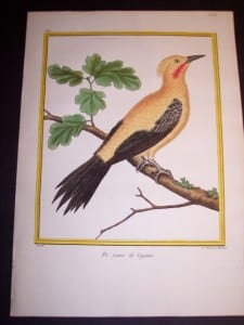 Martinet Song Bird Engraved Print from 1770-1783 250. 8405
