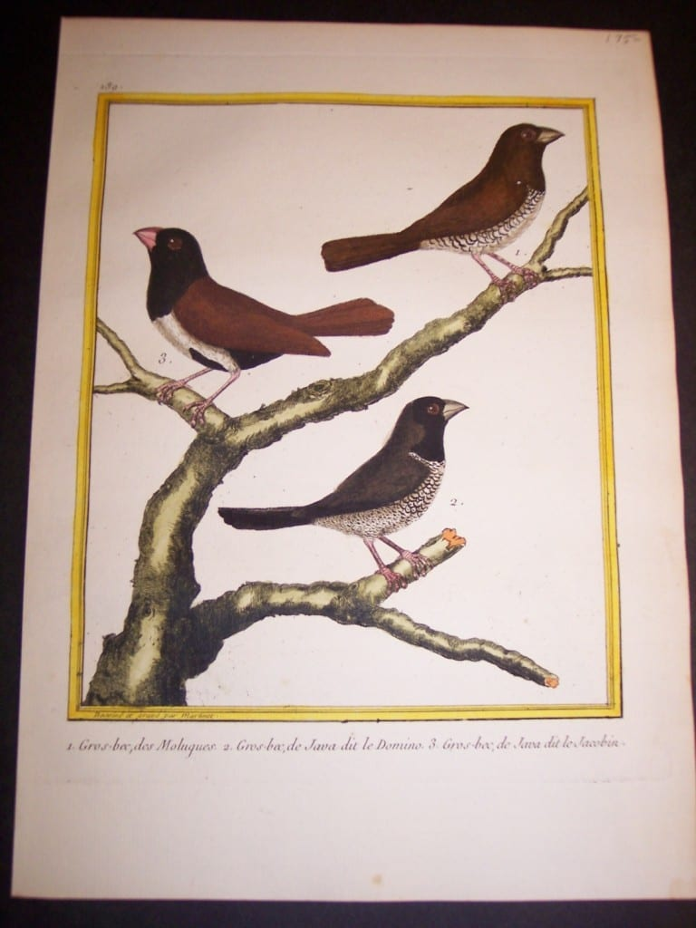 martinet birds, martinet bird prints, prints by martinet, martinet, old prints of birds, old bird prints