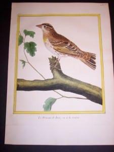 martinet birds, martinet bird prints, prints by martinet, martinet, old prints of birds, old bird prints